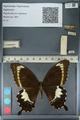 http://mczbase.mcz.harvard.edu/specimen_images/ent-lepidoptera/images/2012_10_27/IMG_133442.JPG