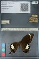 http://mczbase.mcz.harvard.edu/specimen_images/ent-lepidoptera/images/2012_10_27/IMG_133444.JPG