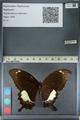 http://mczbase.mcz.harvard.edu/specimen_images/ent-lepidoptera/images/2012_10_27/IMG_133446.JPG