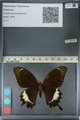http://mczbase.mcz.harvard.edu/specimen_images/ent-lepidoptera/images/2012_10_27/IMG_133447.JPG