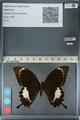 http://mczbase.mcz.harvard.edu/specimen_images/ent-lepidoptera/images/2012_10_27/IMG_133449.JPG