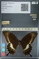 http://mczbase.mcz.harvard.edu/specimen_images/ent-lepidoptera/images/2012_10_27/IMG_133452.JPG