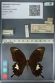 http://mczbase.mcz.harvard.edu/specimen_images/ent-lepidoptera/images/2012_10_27/IMG_133455.JPG