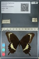 http://mczbase.mcz.harvard.edu/specimen_images/ent-lepidoptera/images/2012_10_27/IMG_133458.JPG