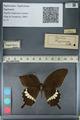 http://mczbase.mcz.harvard.edu/specimen_images/ent-lepidoptera/images/2012_10_27/IMG_133471.JPG