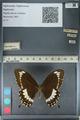 http://mczbase.mcz.harvard.edu/specimen_images/ent-lepidoptera/images/2012_10_27/IMG_133476.JPG