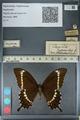 http://mczbase.mcz.harvard.edu/specimen_images/ent-lepidoptera/images/2012_10_27/IMG_133479.JPG