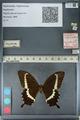 http://mczbase.mcz.harvard.edu/specimen_images/ent-lepidoptera/images/2012_10_27/IMG_133480.JPG