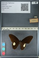 http://mczbase.mcz.harvard.edu/specimen_images/ent-lepidoptera/images/2012_10_27/IMG_133493.JPG