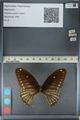 http://mczbase.mcz.harvard.edu/specimen_images/ent-lepidoptera/images/2012_10_27/IMG_133515.JPG