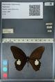 http://mczbase.mcz.harvard.edu/specimen_images/ent-lepidoptera/images/2012_10_27/IMG_133529.JPG
