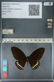 http://mczbase.mcz.harvard.edu/specimen_images/ent-lepidoptera/images/2012_10_27/IMG_133531.JPG