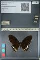 http://mczbase.mcz.harvard.edu/specimen_images/ent-lepidoptera/images/2012_10_27/IMG_133532.JPG