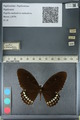 http://mczbase.mcz.harvard.edu/specimen_images/ent-lepidoptera/images/2012_10_27/IMG_133533.JPG