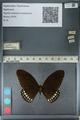 http://mczbase.mcz.harvard.edu/specimen_images/ent-lepidoptera/images/2012_10_27/IMG_133534.JPG