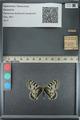 http://mczbase.mcz.harvard.edu/specimen_images/ent-lepidoptera/images/2012_11_26/IMG_136843.JPG