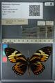 http://mczbase.mcz.harvard.edu/specimen_images/ent-lepidoptera/images/2013_02_22/IMG_137355.JPG