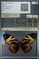 http://mczbase.mcz.harvard.edu/specimen_images/ent-lepidoptera/images/2013_02_22/IMG_137356.JPG