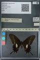 http://mczbase.mcz.harvard.edu/specimen_images/ent-lepidoptera/images/2013_02_22/IMG_137363.JPG