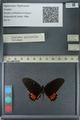 http://mczbase.mcz.harvard.edu/specimen_images/ent-lepidoptera/images/2013_02_26/IMG_137477.JPG