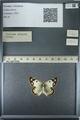http://mczbase.mcz.harvard.edu/specimen_images/ent-lepidoptera/images/2013_03_12/IMG_139002.JPG