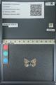 http://mczbase.mcz.harvard.edu/specimen_images/ent-lepidoptera/images/2013_04_16/IMG_141695.JPG