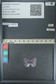 http://mczbase.mcz.harvard.edu/specimen_images/ent-lepidoptera/images/2013_04_16/IMG_141701.JPG