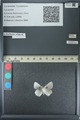 http://mczbase.mcz.harvard.edu/specimen_images/ent-lepidoptera/images/2013_04_16/IMG_141704.JPG
