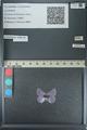 http://mczbase.mcz.harvard.edu/specimen_images/ent-lepidoptera/images/2013_04_16/IMG_141708.JPG