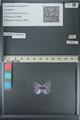 http://mczbase.mcz.harvard.edu/specimen_images/ent-lepidoptera/images/2013_04_16/IMG_141710.JPG
