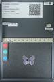 http://mczbase.mcz.harvard.edu/specimen_images/ent-lepidoptera/images/2013_04_16/IMG_141712.JPG