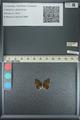 http://mczbase.mcz.harvard.edu/specimen_images/ent-lepidoptera/images/2013_04_17/IMG_141866.JPG