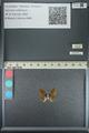 http://mczbase.mcz.harvard.edu/specimen_images/ent-lepidoptera/images/2013_04_18/IMG_141921.JPG