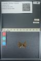 http://mczbase.mcz.harvard.edu/specimen_images/ent-lepidoptera/images/2013_04_22/IMG_141969.JPG