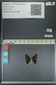 http://mczbase.mcz.harvard.edu/specimen_images/ent-lepidoptera/images/2013_04_26/IMG_142540.JPG