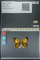 http://mczbase.mcz.harvard.edu/specimen_images/ent-lepidoptera/images/2013_04_26/IMG_142639.JPG