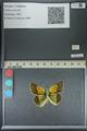 http://mczbase.mcz.harvard.edu/specimen_images/ent-lepidoptera/images/2013_04_26/IMG_142650.JPG