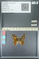 http://mczbase.mcz.harvard.edu/specimen_images/ent-lepidoptera/images/2013_05_22/IMG_143123.JPG