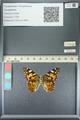 http://mczbase.mcz.harvard.edu/specimen_images/ent-lepidoptera/images/2013_05_22/IMG_143124.JPG