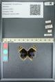 http://mczbase.mcz.harvard.edu/specimen_images/ent-lepidoptera/images/2013_05_22/IMG_143129.JPG