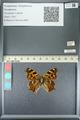 http://mczbase.mcz.harvard.edu/specimen_images/ent-lepidoptera/images/2013_05_22/IMG_143135.JPG