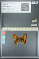 http://mczbase.mcz.harvard.edu/specimen_images/ent-lepidoptera/images/2013_05_22/IMG_143136.JPG