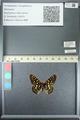 http://mczbase.mcz.harvard.edu/specimen_images/ent-lepidoptera/images/2013_05_24/IMG_143203.JPG