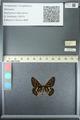 http://mczbase.mcz.harvard.edu/specimen_images/ent-lepidoptera/images/2013_05_24/IMG_143206.JPG