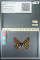 http://mczbase.mcz.harvard.edu/specimen_images/ent-lepidoptera/images/2013_05_24/IMG_143207.JPG