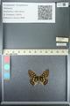 http://mczbase.mcz.harvard.edu/specimen_images/ent-lepidoptera/images/2013_05_24/IMG_143217.JPG