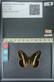 http://mczbase.mcz.harvard.edu/specimen_images/ent-lepidoptera/images/2013_07_02/IMG_143675.JPG