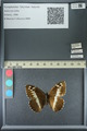 http://mczbase.mcz.harvard.edu/specimen_images/ent-lepidoptera/images/2013_07_02/IMG_143683.JPG