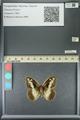 http://mczbase.mcz.harvard.edu/specimen_images/ent-lepidoptera/images/2013_07_03/IMG_143684.JPG