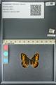 http://mczbase.mcz.harvard.edu/specimen_images/ent-lepidoptera/images/2013_07_03/IMG_143686.JPG